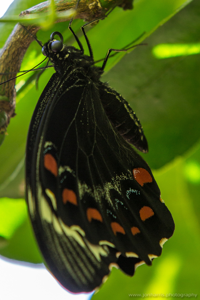 Freshly hatched butterfly