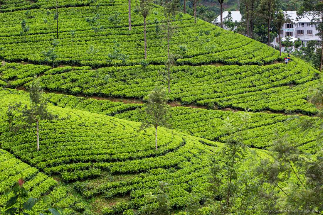 Hill country tea plantations