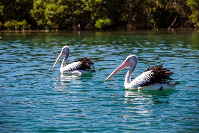 Cheeky pelicans waiting for a feed